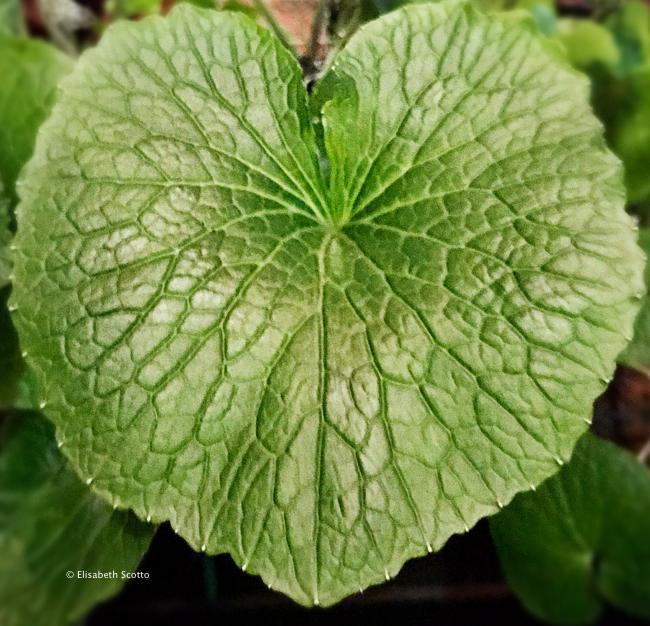 Wasabi le go t du japon le blog d elisabeth scotto for Plante wasabi