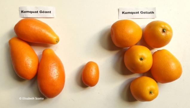 Kumquats1.jpg